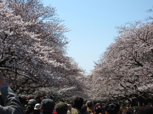 A sea of white sakura